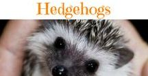 ✿ Pet Hedgehog ✿ / A collection of pet hedgehog images, diy projects, cages and cool house ideas to help you care for you hedgehog friends.