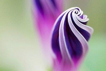 Purple Lavendar