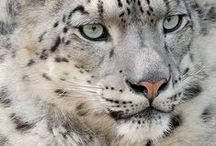 Snow leopards / Images of snow leopards, conservation and research for my books, Yardil and The Tales of Jahani.