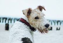 WFT / Wire Fox Terrier