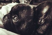 French Bulldogs / by Leah Harris