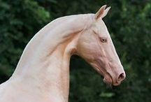 The Perlino and Cremello Horse / a unique horse coat