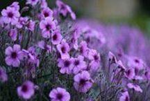 Violet summer