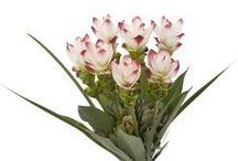 Curcuma - roots for moods / Met de Curcuma haalt u de tropen in huis. Met haar stevige, lange bloemstelen en extravagante bloemen geeft zij uw interieur een exotische uitstraling. Maar zij biedt meer! De wortels van een variant zijn eetbaar en in de culinaire wereld bekend onder de naam geelwortel, koenjit of kurkuma. Door deze wortels – de 'roots' – maar ook door haar mystieke herkomst, brengt zij u in de 'moods' om te genieten in elk opzicht!