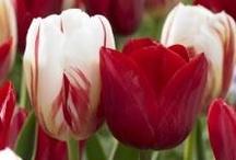 Bloembollen / Binnen de tuinbouw nemen bloembollen een aparte plaats in, met name de 'losse' bloembollen. De telers hebben last van afzetproblemen door onvoldoende onderscheid, ze kijken onvoldoende naar de behoefte van de consument. Sense marketing & more kan hier een belangrijke plaats innemen.