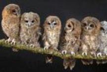 Els mussols / buhos,owls,chouettes