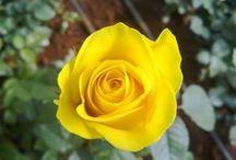 Rozen / Roses / Bloomingdale Roses is een nieuwe producent van wereldklasse en is gestart met het veilen van een groot assortiment T-hybride rozen. Bloomingdale Roses is een organisatie die zich onderscheidt met haar unieke merk en is een herkenbare topproducent van premium kwaliteit rozen.