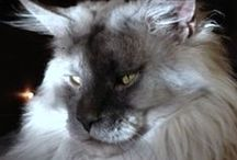 Animals > Domestic Cats > Lynx xo / The largest domestic cats in the world include the Siberian Forest Cat (5th), the Norwegian Forest Cat (4th) Maine Coon (3rd) Ragdoll (2nd) & the Savannah F-1. My choice is Maine Coon or Ragdoll. I live with a Ragdoll, his name is Sammy & he's big, but not as big as they can get. I also have the fabulous Lynx on this board because they belong to the same subspecies as domestic cats - Felinae, but you know what?  I could easily make friends with them. Check my board out. Keva xo.