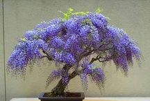 Bonsai xo / Growing ornamental, artificially dwarfed varieties of trees and shrubs in pots using the art of Bonsai. Some of the Bonsai pinned to this board are hundreds of years old, passed down through generations. Keva xo.