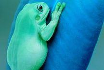 Animals > Amphibians xo / Amphibians are a cold-blooded vertebrate animal of a class that comprises frogs, toads, newts, salamanders, and caecilians. They are distinguished by having an aquatic gill-breathing larval stage followed (typically) by a terrestrial lung-breathing adult stage. Keva xo.