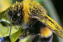 Animals > Bee Life xo / Honey Bees, Bumble Bees & their more aggressive counterparts. How to start your own hives, perennials to plant to attract pollinators and other helpful hints to save these wonderful creatures, Keva xo.