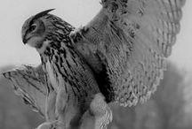 .Owls.