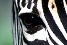 Zebras are Beautiful Animals