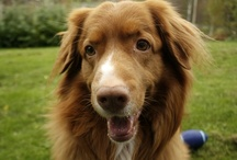 My Toller / These are all pictures of my beautiful dog. He's a Nova Scotia Duck Tolling Retriever.
