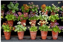 Primula auricula   theatres / by Hortensis