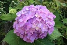 紫陽花 / 庭のあじさい
