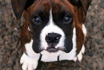 Lilly B Boxer