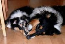 Collies are a passion / We have a two collies boys at home - tricolour Dobby and special blue merle Nat. I love them both.