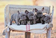 Bulldog francese / Il prossimo cane che arrivera' a casa.... / by Manuela Mormina