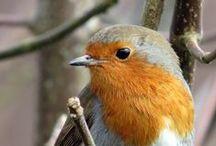 Fåglar / Vildfåglar