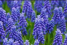 Blommor / Vackra blommor både perenner och annueller.