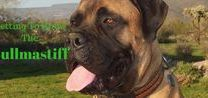 Bullmastiff / Beautiful and majestic, the Bullmastiff rules supreme in the dog world.