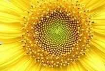 vi ~Sunflower~