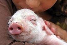 vi ~ Aww! Pigs ♥ ~