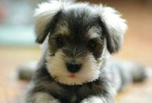 schnauzer style / the teddy bear of dogs, snuggly, loyal and super, super nosy.