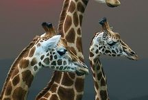 Animals / 3 giraffe.