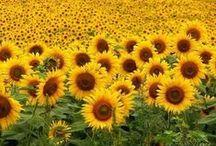 Yellow Symbol of Light and Sun / Il Colore Giallo è il simbolo della luce del sole ma anche dell'energia sia mentale che fisica e della conoscenza.