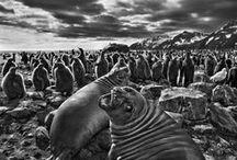 Fotografía - Sebastião Salgado / Sebastião Salgado es un fotógrafo brasileño nacido en Aimorés, Minas Gerais, en 1944. Recibió en 1998 el Premio Príncipe de Asturias de las Artes. Fecha de nacimiento: 8 de febrero de 1944 Fotografía: minas de oro de Serra Pelada en Brasil. 1986.