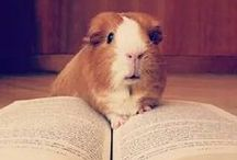 Guinea Piggies / Our adorable pets: guinea pigs!