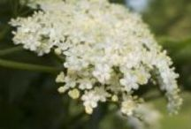 Herbs for Winter support / The essential herbs to help support you and your family this winter.