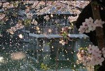 Sakura / Hanami