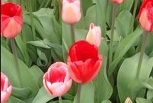 Keukenhof in Spring, Beautiful flowers / Keukenhof in Spring, Beautiful flowers