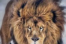 Big cats / All breeds of big cats