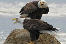 RAPTORS(Eagles,Hawks,owls,vultures) / BIRDS OF PREY / by J.M. JOHNS