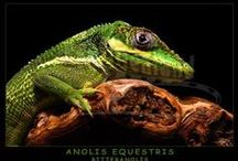 Fotos - Leguane