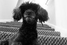 Marley the Yorkiepoo / Marley, my 9 year old yorkie poo. She never leaves my side for a moment. You will always find her at my feet as I spend hours editing photos and uploading them to Etsy. She loves tennis balls, squeaky toys, ice cubes, popcorn, belly rubs, and walks.