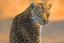Leopards & Cheetah / Leopardos y Guepardos