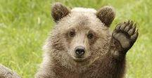 Bears / Osos
