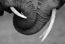 Elephants / Elefantes