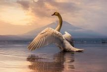 Swans / Cisnes