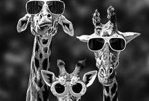 Giraffes / Jirafas