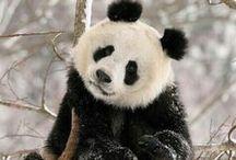 Panda Bears / Osos Panda