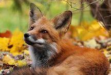 Foxes / Zorros