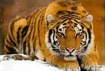 Tigers / Tigres