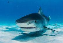 Sharks / Tiburones