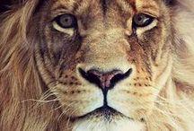 Lions / Leones